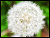 Dandelion Wishes! - Floral Wishes ecards - Flowers Greeting Cards