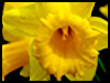 Regards Daffodil! - Floral Wishes ecards - Flowers Greeting Cards